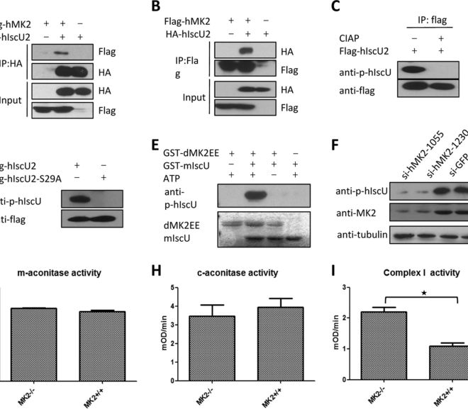 Stress and Iron: The Role of Mitochondrial Iron-Sulfur Clusters in p38 Pathway Regulation