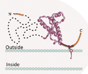 Figure 2. Human prion protein connected to membrane by GPI anchor. (Rosetti et. al. 2011)