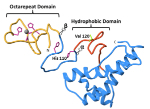 Figure 5. Locations of alpha- and beta-cleavage of prion protein. (McDonald et. al. 2014)