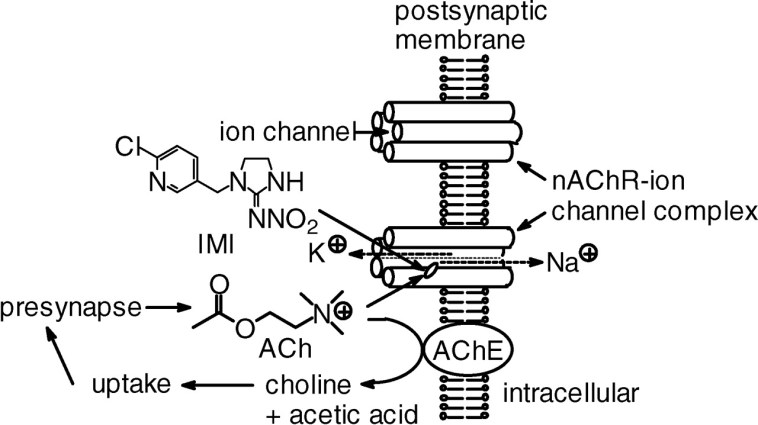 Figure 2: The mechanism by which neonicotinoids engage with nAChR sites, as seen within pesticies (Motohiro 2003)