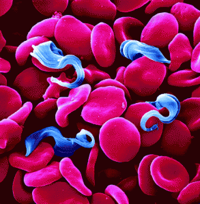 Trypanosomes among red blood cells. Image from Google Images.