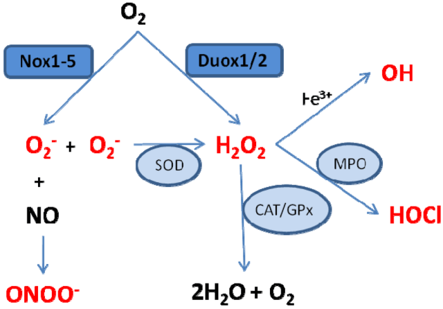 Flowchart indicating the various transitions from molecular oxygen (O2) to antimicrobials (HOCl, ONOO) and strong oxidants (OH). Notice that hydrogen peroxide is an intermediate between superoxide and HOCl, and can also be produced from molecular oxygen by the enzyme DUOX. Obtained from Google Images.