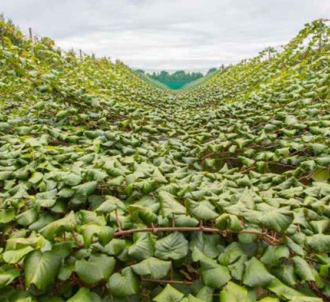 kiwi produccion fruta