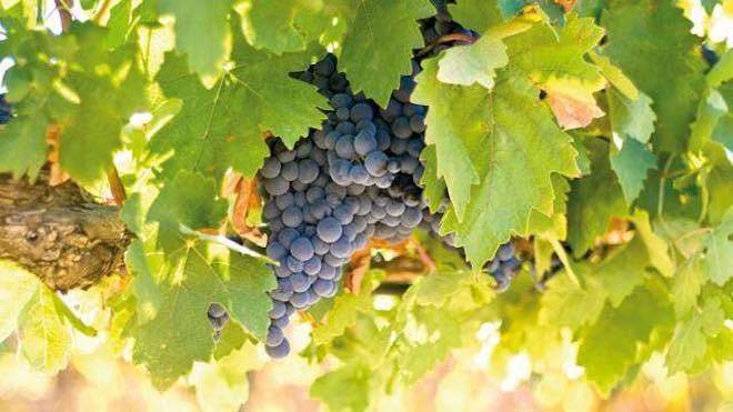 esdor bodegas uva 1323_n