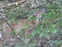 The deer in the woods.