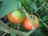 My vine ripe tomatoes