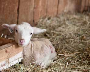 Lamb at Robson Valley Sheep Farm