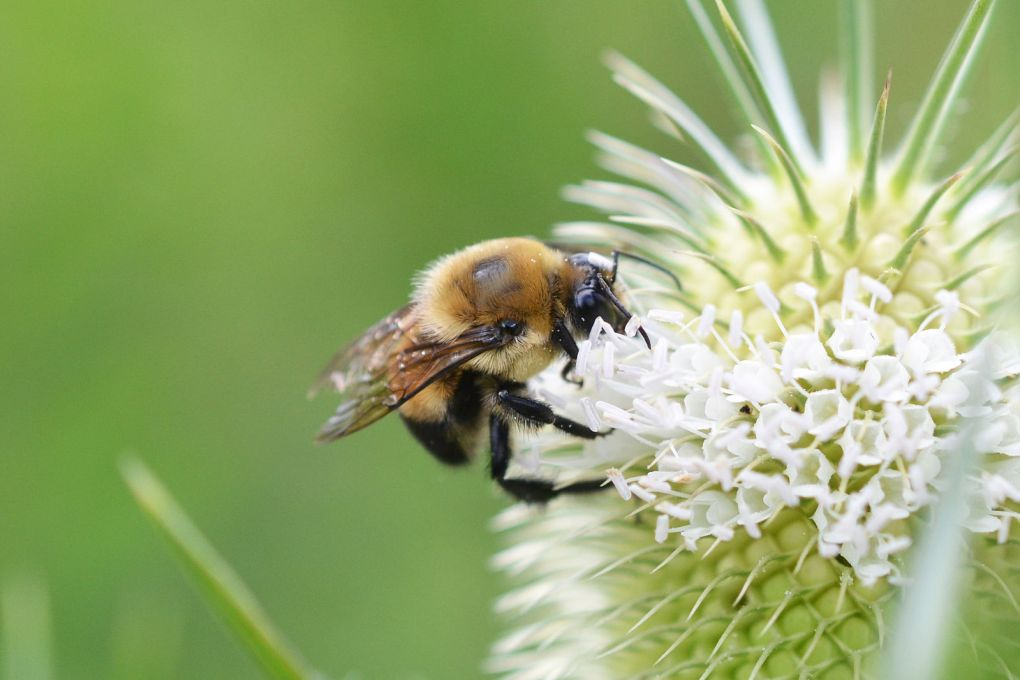 Brown-belted Bumble Bee (Bombus griseocollis). Credit: Andrew C