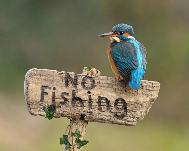 Kingfisher on Sign by Dean Mason
