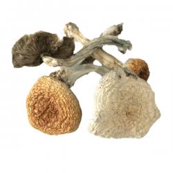 Great White Monster Magic Mushrooms - Buy shrooms online - bcweedpen.com