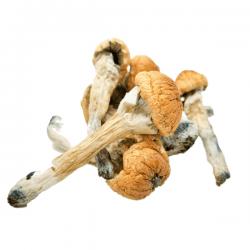 Buy magic mushrooms online at bcweedpen.com
