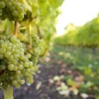 Grape tonnage rises despite 2011's cool conditions: BCWI