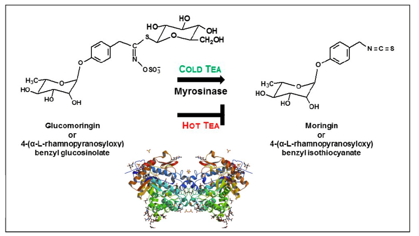 Adapted from Fahey (2019) paper. Crystal structure of myrosinase as remindre of why heat denaturization reduces moringin in hot tea