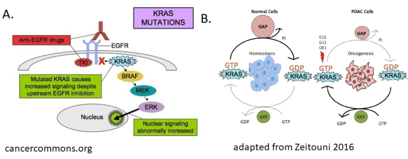 Epidermal growth factor, EGF, KRAS, and pancreatic cancer