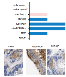 If colonic delivery of drugs, why not colonic delivery of CuI()? Ctr1 is expressed in the colon