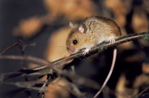 Rodent-borne virus makes first appearance in Maine — Health ...