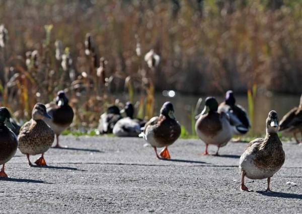 residents feeding wild ducks