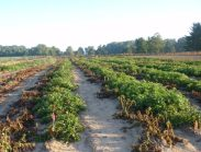 Impact of late blight disease on rows of conventional potatoes (left) and Innate™ Gen 2 potatoes (right) in Michigan as seen in this Nov 2015 photo.