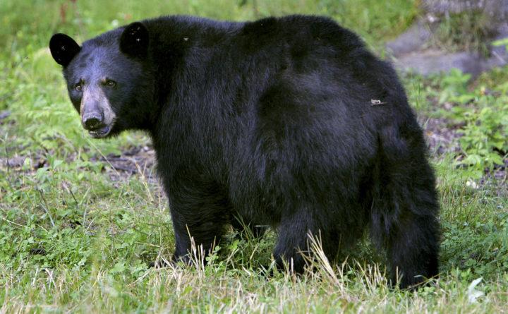 biologist says maine bear