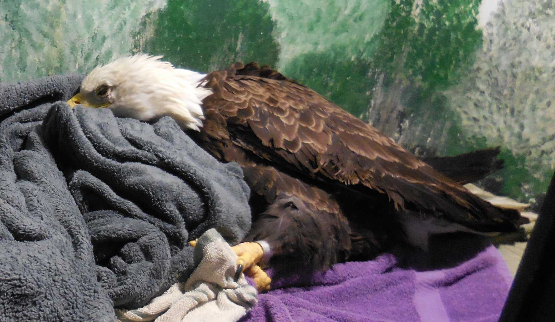 Sick Bald Eagles Are Flooding Into Maine Rehabilitation Center Raising Concerns About Lead Poisoning