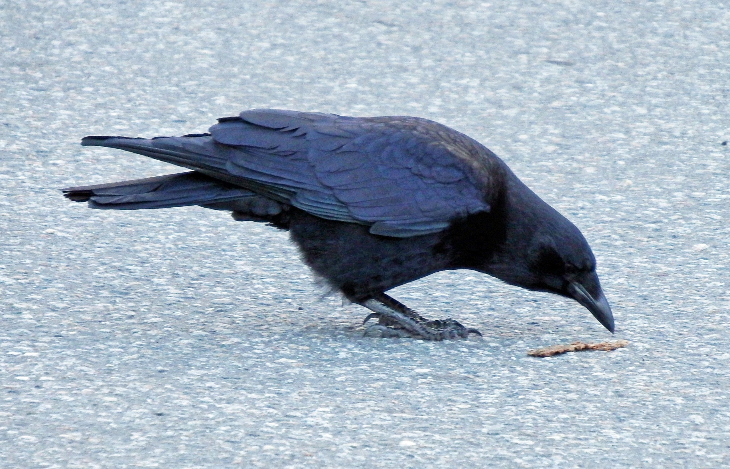 Why this crow species was just struck from the North American bird list