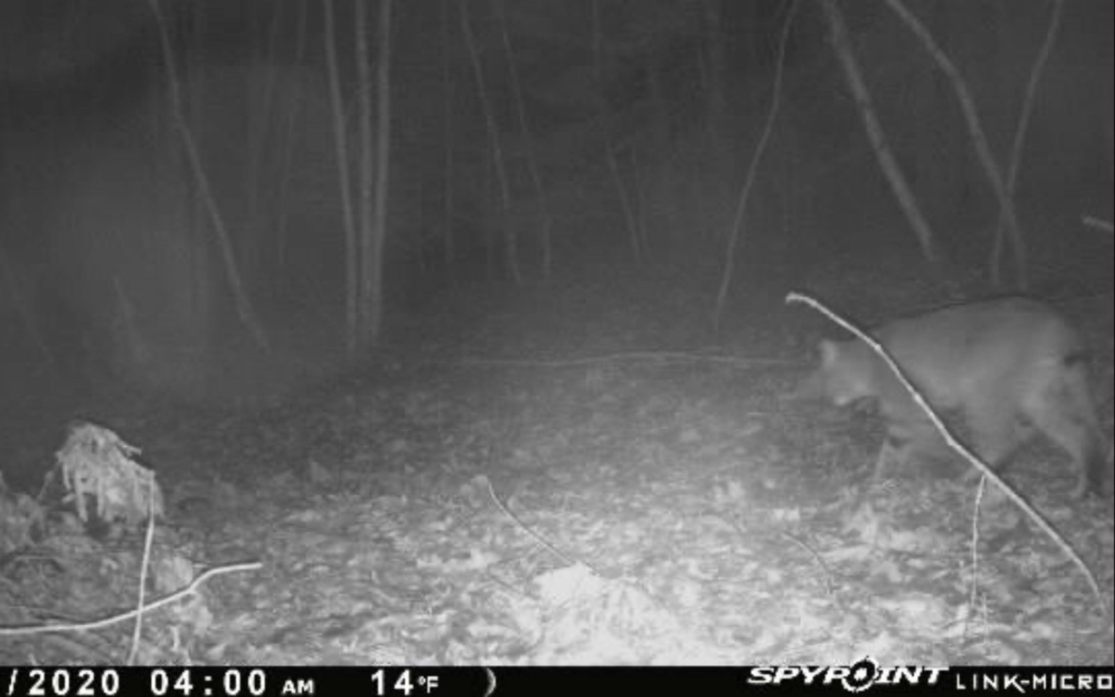 Mountain Lions in Maine?