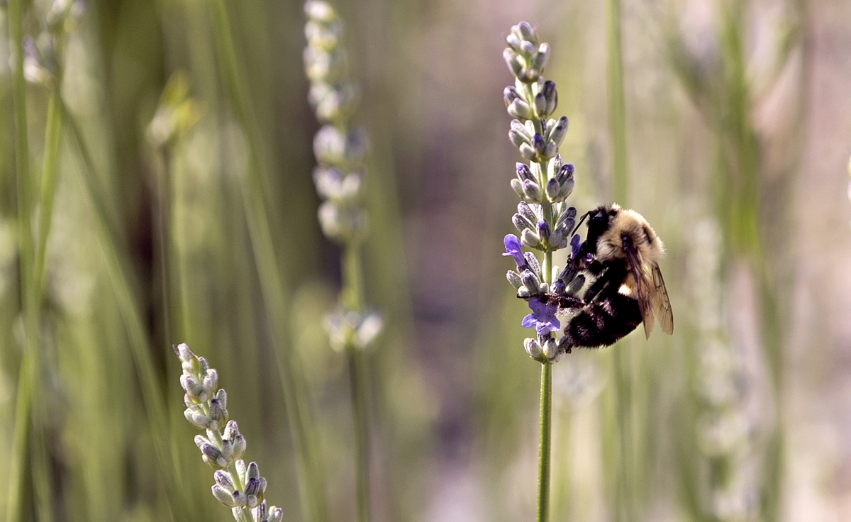 American bumblebee, nearly wiped out in Maine, could become an endangered species