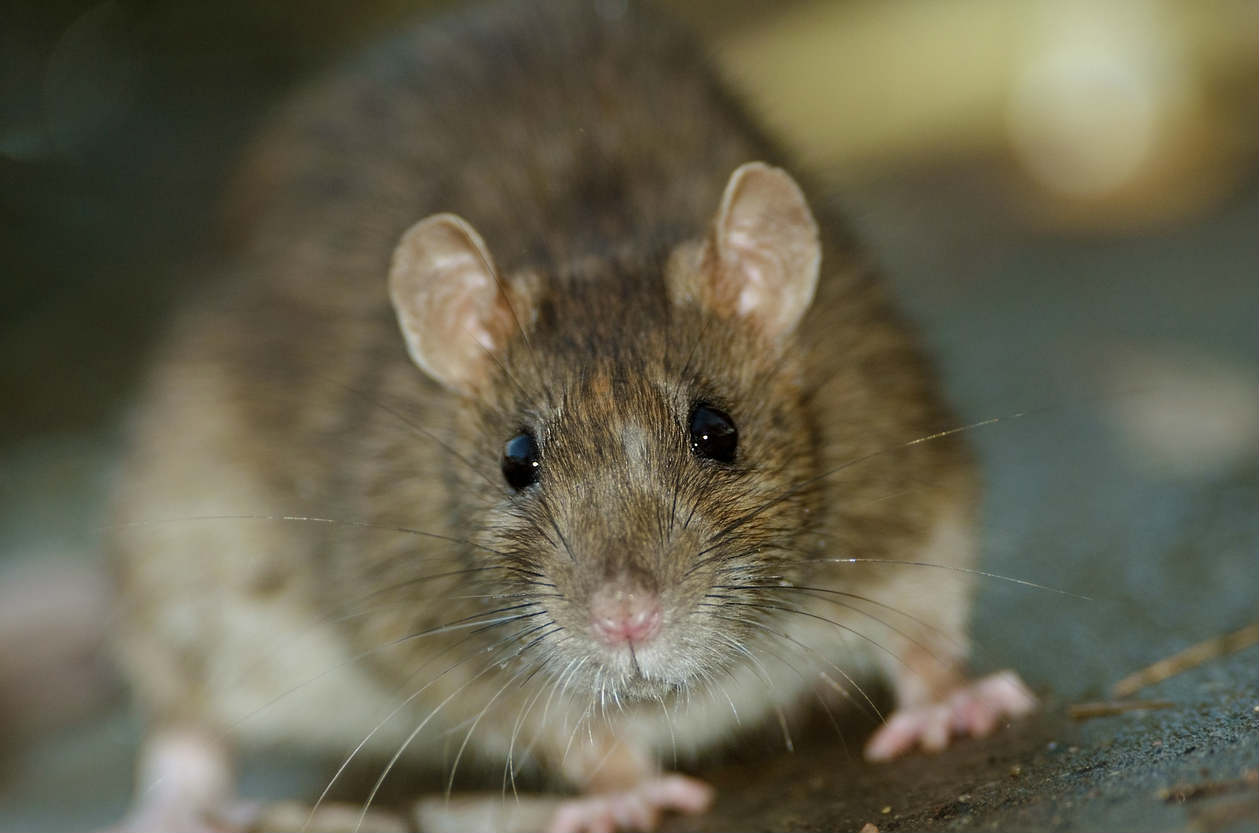 How Rodents Can Spread Deadly Diseases