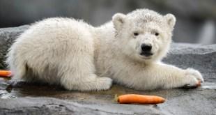 Először látható élőben a Schönbrunni Állatkert jegesmedvebocsa