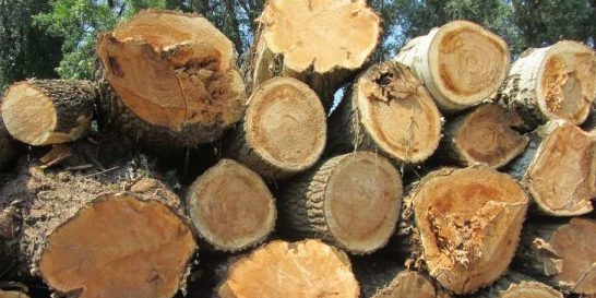 Ismét idős erdőt vágtak ki illegálisan Tiszaugnál