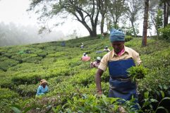 Tea pickers (Munnar, India 2013)