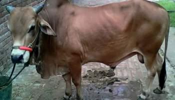 কুরবানির গরু