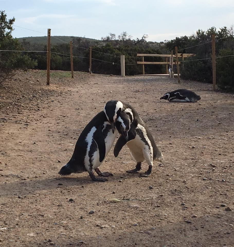 A photo of two penguins brawling although it looks like they are hugging in the photo