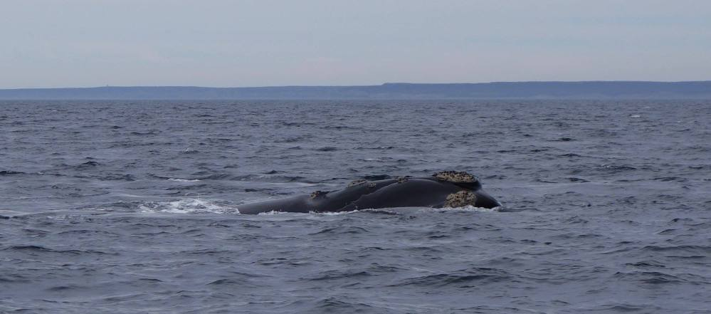 Photo of a whale lying in the sea... unfortunately we didn't see any exciting behaviour!