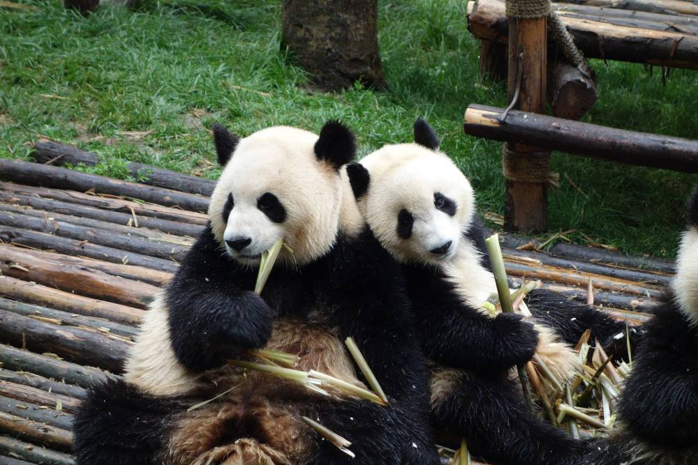 "Photo of two pandas eating bamboo, one looking at the other as if to say ""yours looks tastier"""
