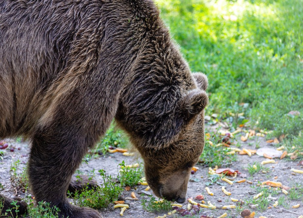 Large bear grazing from the ground
