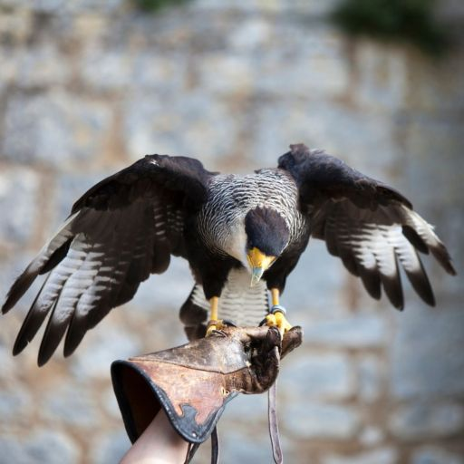Batsford Falconry, Cotswold Falconry. Bird of prey standing on the handlers hand