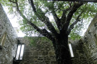 Muckross Abbey - there's a tree growing in the middle of it!