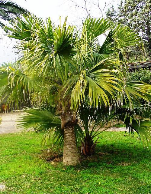 fan palm trees. best palm trees for myrtle beach? fan n
