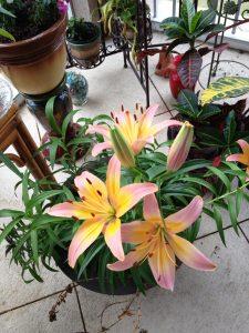 lilies bulbs