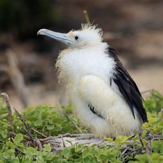 galapagos-birds-frigatebird-baby-chick