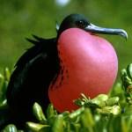 Frigatebird FAQ