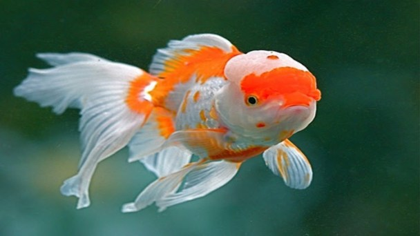 THE ORANDA GOLDFISH