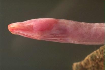 jellynose fish