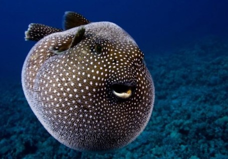 pufferfish (TETRAODONTIDAE)