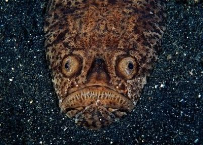 whitemargin stargazer fish