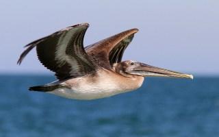 brown-pelican-flight-over-ocean-ng-01
