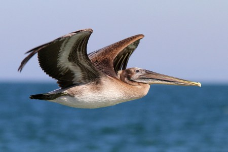 brown-pelican-flight-over-ocean-ng-01