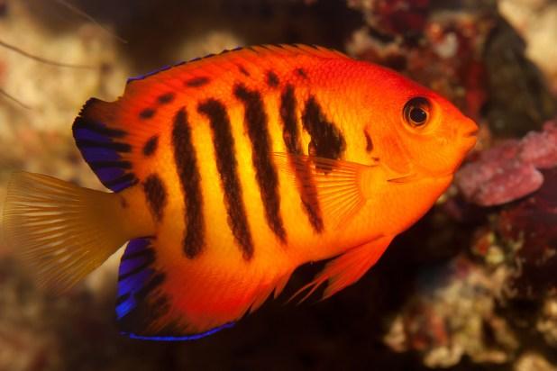 flame-angelfish