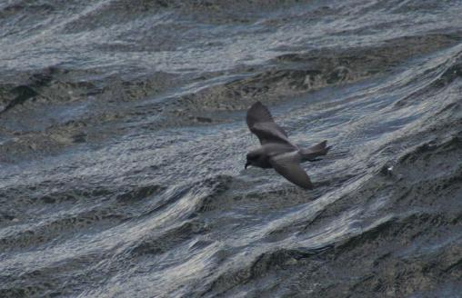 fork-tailed-storm-petrel-bird-flying-above-water